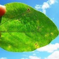 """Pesticida """"à prova de chuva"""" é eficiente contra ferrugem"""
