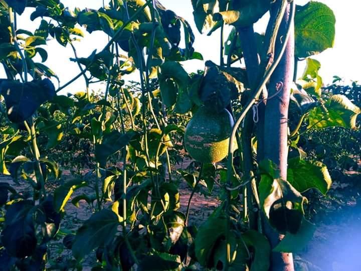 Produção de Maracujá ajuda na geração de renda das Agricultoras do P.A Bela Manhã em Taquarussu