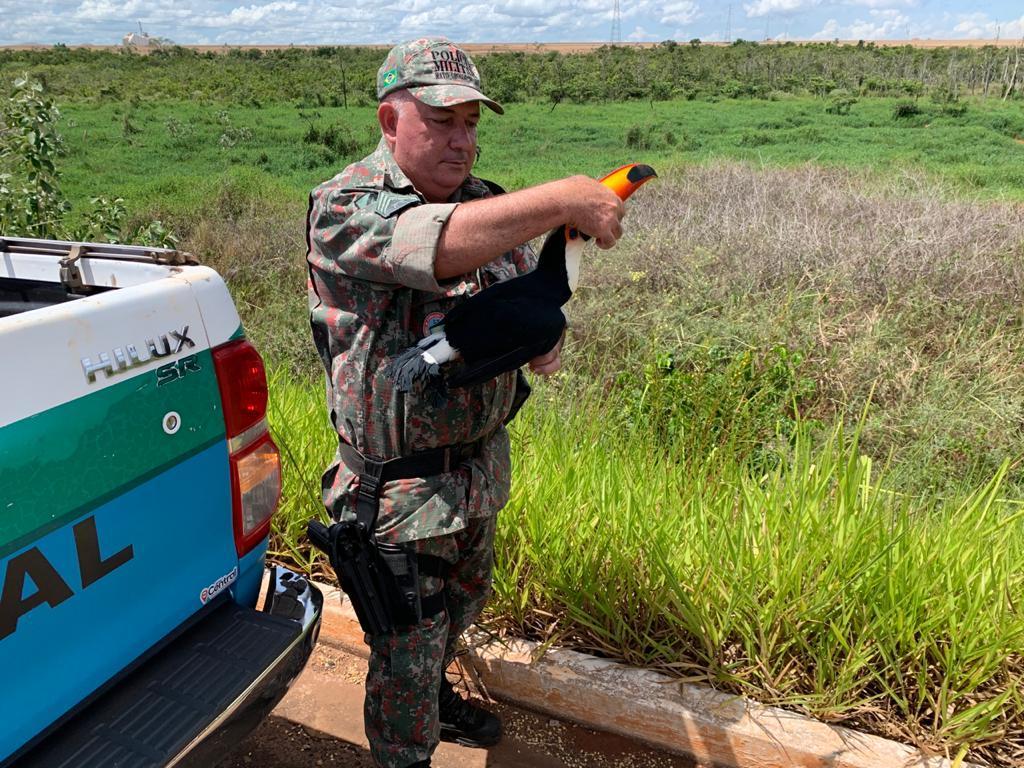 Polícia Militar Ambiental de Batayporã captura e faz soltura de tucano encontrado em residência na cidade de Taquarussu